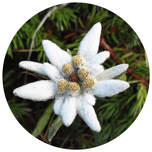 Ingredients-PNG_0021_edelweiss